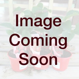 READY PLANTED HANGING COLOUR POT VIOLA  PANSY 12 INCH
